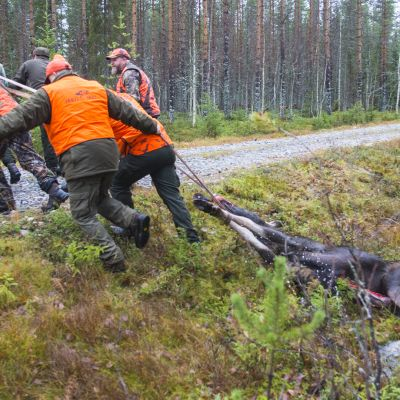 Metsästys hirvi raato ruho metsästäjät hirvimetsä