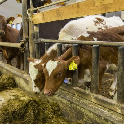vasikat lehmät navetta maatila ruokinta eläimet
