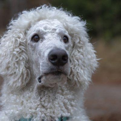Turre-koira osaa 30 viittomaa