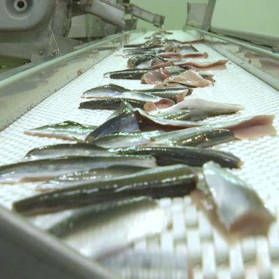Fileerattua silakkaa Kuivaniemen kalan liukuhihnalla Kaskisissa.