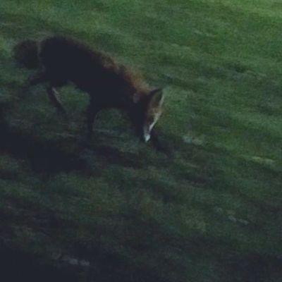 Kuvakaappaus videolta, jossa kettu juoksee jalkakäytävällä.