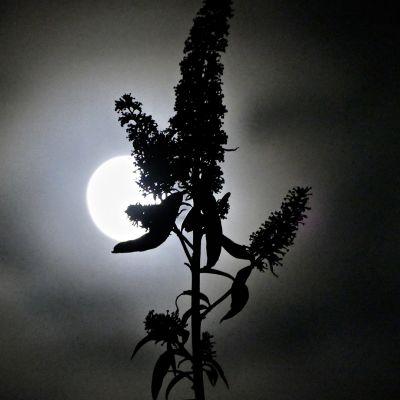 Kuu loistaa yötaivaalla.