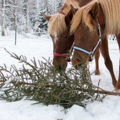 Hevoset syövät joulukuusta