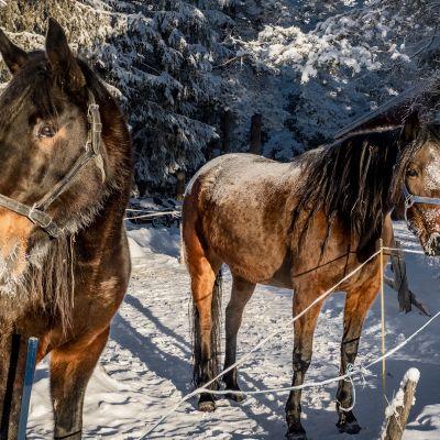 Niemelän ravitallin hevosia aitauksessa.