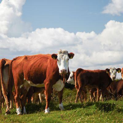 Lihakarjaa laitumella lähellä Kinvaraa, Länsi-Irlannissa.