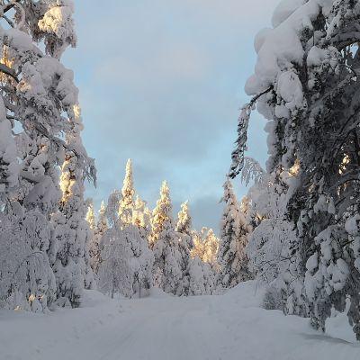 Metsätie, jonka varrella lumisia puita.