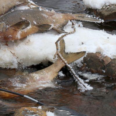 Happikatoon kuolleita lahnoja Kanninpuron rannalla Kuhmossa.