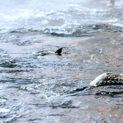 Koskikara saalistaa Vihavuoden koskessa Hauholla.