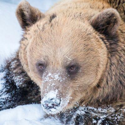 Ranuan eläinpuiston karhut heräävät – pesäluukut avataan klo 12