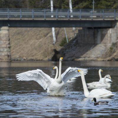 Laulujoutsen ojentaa kaulaansa ja levittää siipiään uidessaan joessa.
