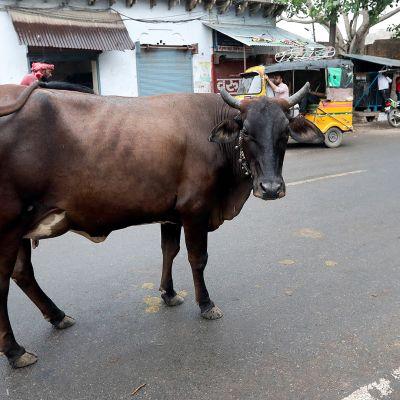 Lehmä kadulla liikenteen seassa.