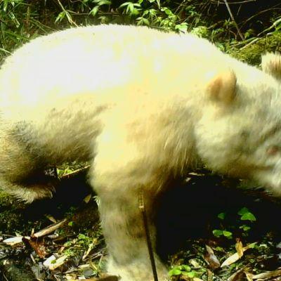 Harvinainen albiinopanda Wolongin luonnonpuistossa.