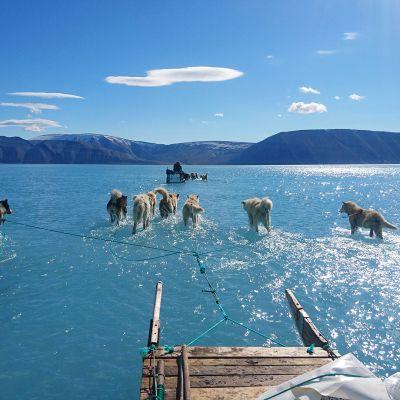 Vedessä rekeä vetäviä koiria Bredninginvuonolla Luoteis-Grönlannissa
