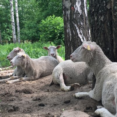 Laskeudu lomakauteen laskemalla lampaita