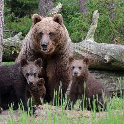 Karhuemo ja kolme poikasta metsässä, taustalla kaatunut ja kelottunut puu