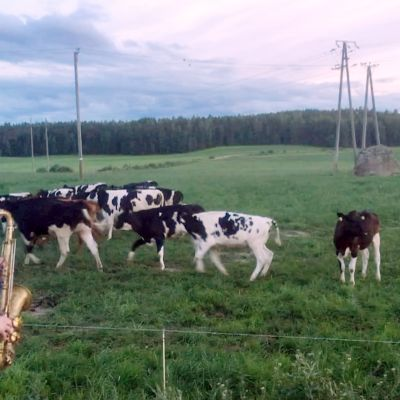 Lehmät innostuivat saksofonin soitosta