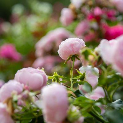 Kotkaniemen puutarha