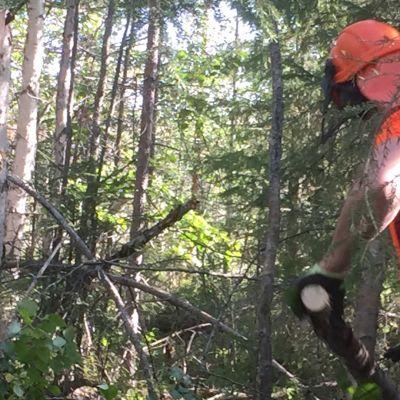 Metsätyöt, raivaus , sahaus