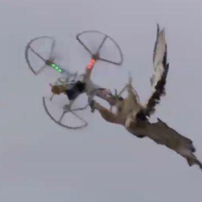Ilmataistelu: haukka vastaan vastaan drooni