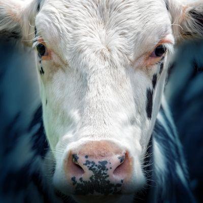 Kuvassa lehmä katsoo kohti.