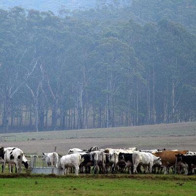 lehmiä laitumella