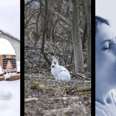 Kuvakombo jäniksestä, lumen alle hautautuneesta koneesta ja haukottelevasta naisesta.
