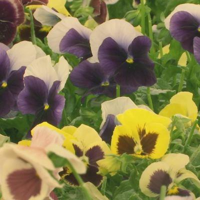 Kukkia.