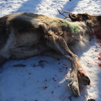 Koiran raatelemaksi joutunut kuollut poro.