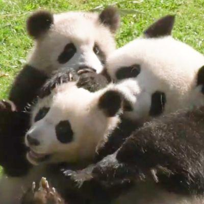 Pandat painisilla Berliinin eläintarhassa