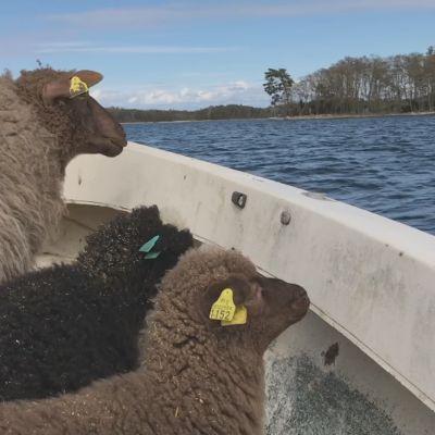 Lampaiden veneretki kesätöihin Turunmaan saaristossa