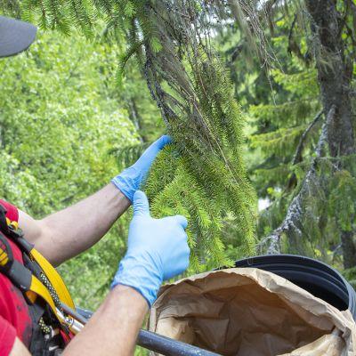 Maastokelpoisesta henkilönostimesta kuusenkerkän keruuapua