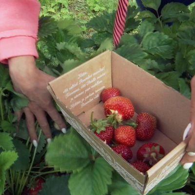 Käsi poimii mansikkaa.