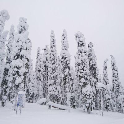 Lumisia puita Puolangan Paljakassa.