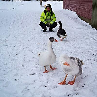 Kolme hanhea kävelee lumelle, taustalla heidän omistaja Sampo Häkkinen.