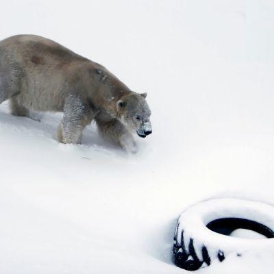 jääkarhu Nord Ranuan eläinpuiston aitauksessa