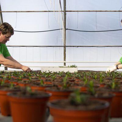 kaksi naista hoitaa kasveja kasvihuoneessa