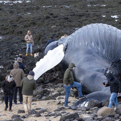Valaan ruho keräsi uteliaita ihmisiä rannalle Reykjenesin niemimaalla Islannissa.