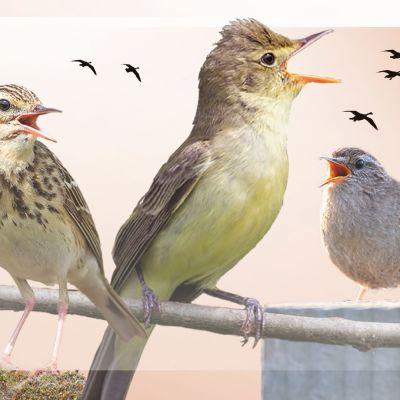 Laulavia lintuja