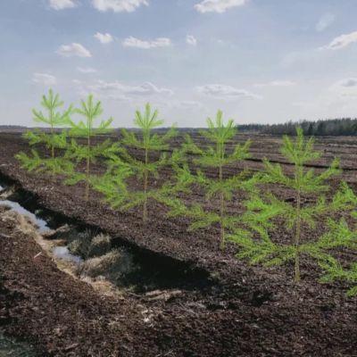 Turvepellolle Etelä-Pohjanmaan Soinissa aiotaan kasvattaa puita.