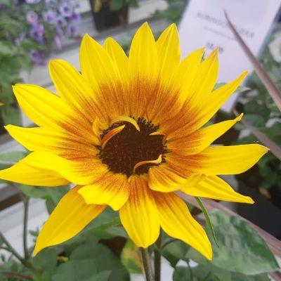 Keltaisen sävyissä hehkuvan auringonkukan uusi lajike on aiempaa selvästi pienempi ja siihen tulee paljon kukkia.