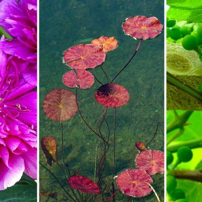 Pioni, lumpeen lehdet ja viinirypäleitä kasvihuoneessa.