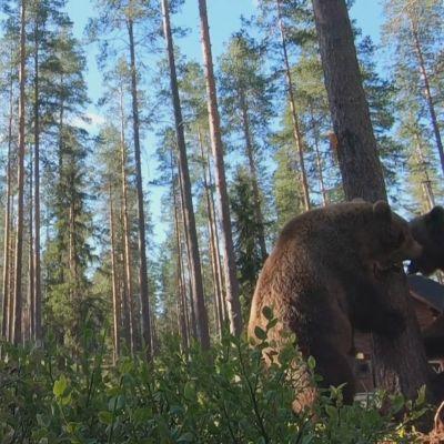 Karhujen raivokas tappelu tallentui kameroille Kuhmon kuvauskojulla