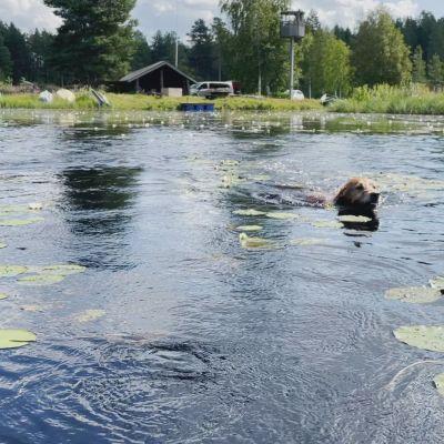 Kultaisetnoutajat Lizi ja Sissi uivat tiiviisti omistajansa Timo Koskiahteen veneen tuntumassa Varpulan tekojärvellä.