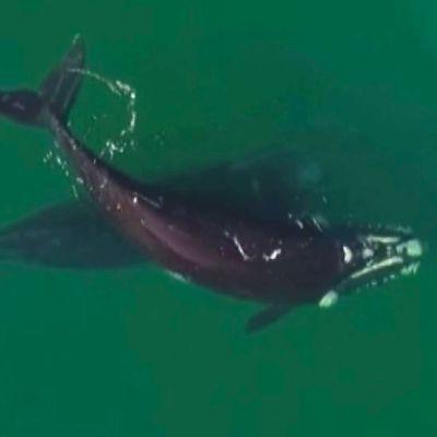 Utelias valas leikki sup-lautailijan kanssa