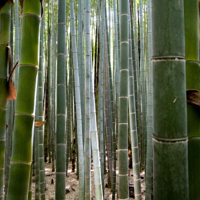 Bambuskog nära Kyoto i Japan