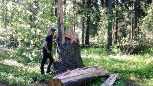 suuren puun kanto