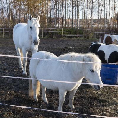 Hevonen ja poneja aitauksessa Limingassa.