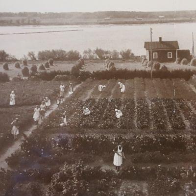 1900-luvun alusta opiskelijoita kevät- ja kesätöissä kasvimaalla Peräpohjolan Opistolla.