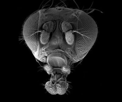 En bananfluga i elektronmikroskop.
