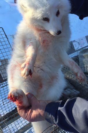 En skadad viträv som attackerats av en varg.